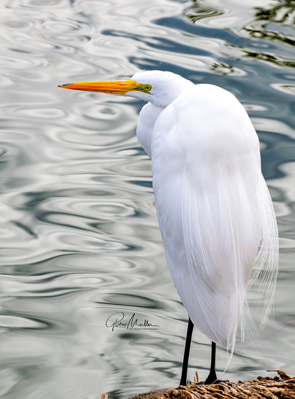 A Giant White Egret on the Shore