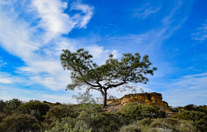 Torrey Pine and Sandstone Cliffs
