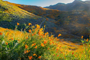 Sunlit Poppies at  Walker Canyon