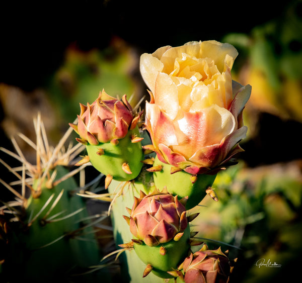 Prickly Pear Bloom and Buds