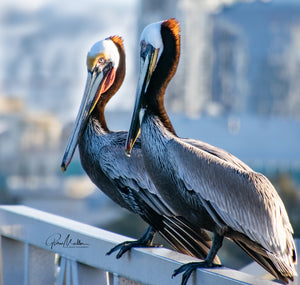 Two California Brown Pelicans Sitting on a Boat Dock