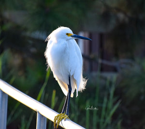 Egret Sits on a Rail in the Early Morning Sun