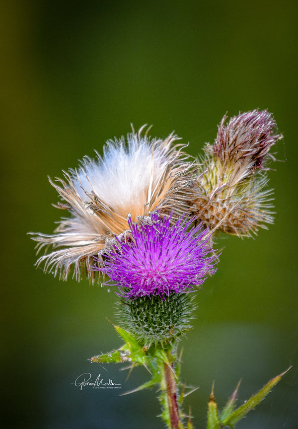 Thistle Stages