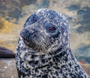 Harbor Seal With Attitude