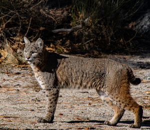 A Bobcat Stalking its Prey in Yosemite Valley