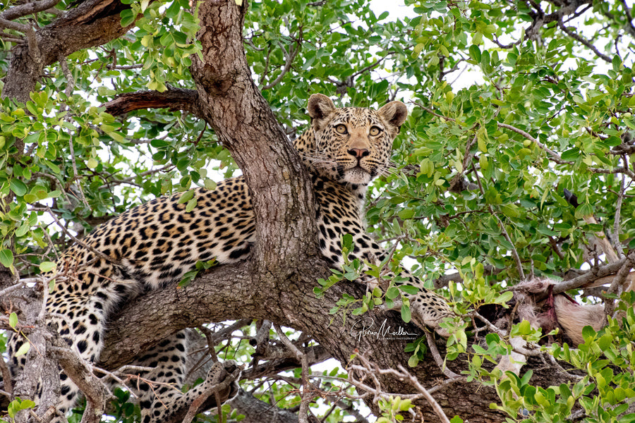 African Leopard in a Tree
