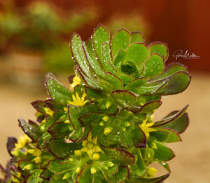 Irish Rose Succulent Flower Spike
