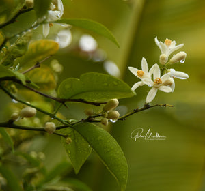 Raindrops on Orange Blossoms