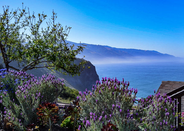 Purple Blooms on the Big Sur Coast