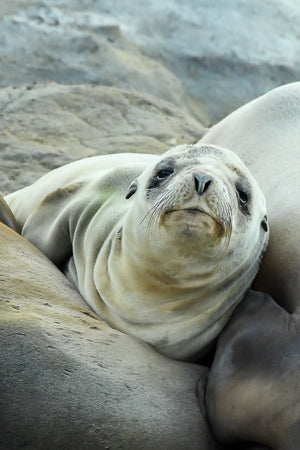 Sleepy Sea Lion Pup