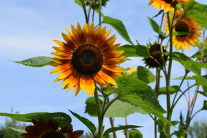 Brilliant Two-toned Sunflower