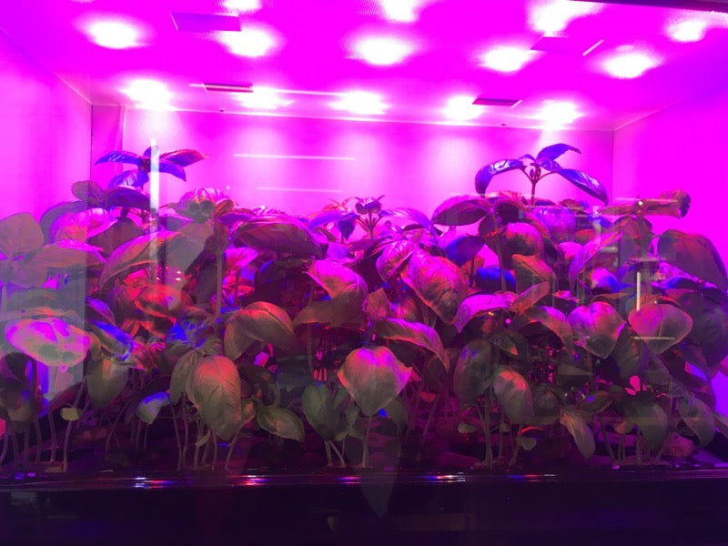 Plants growing in a tank with lights