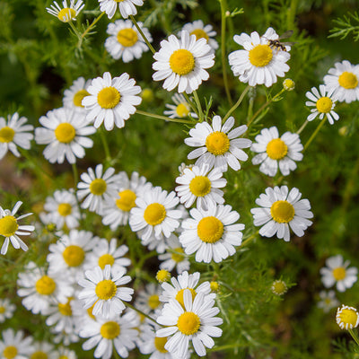 Edible Flowers - Chamomile