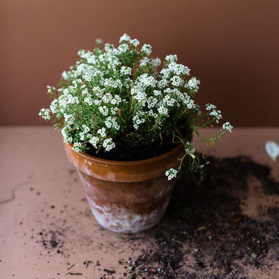 Edible Flowers - Alyssum