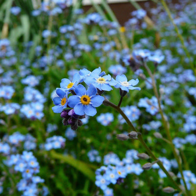 Edible Flowers - Forget Me Not