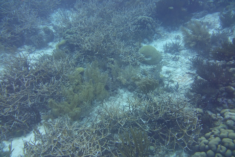 Staghorn coral 2