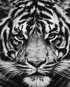 Black & White Starring Tiger Painting Kit
