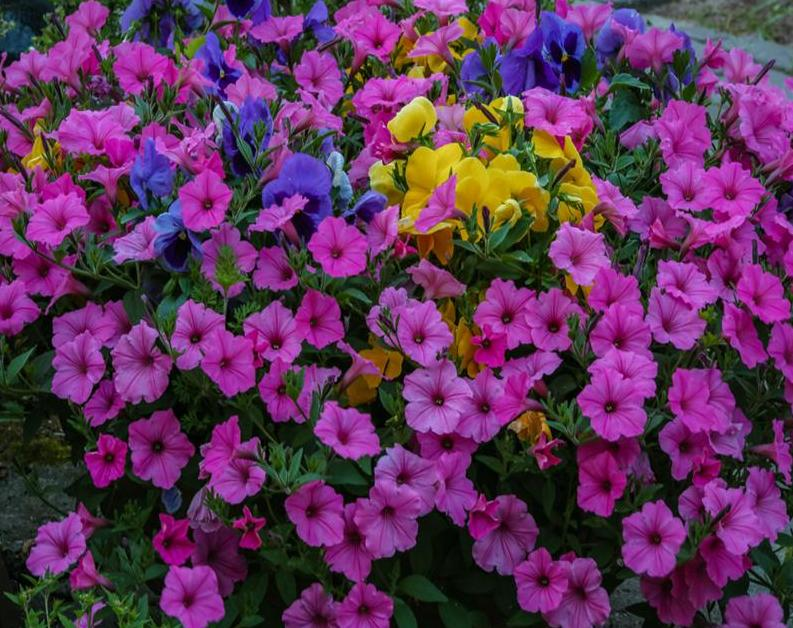 Colorful Petunias Paint by Numbers