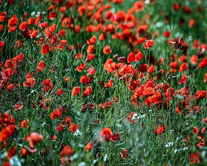 Common poppy Paint by Numbers