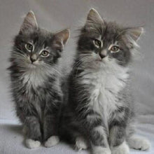 Load image into Gallery viewer, Kittens Pair Paint by Numbers