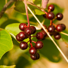 Load image into Gallery viewer, Close-up Common Chokecherry berries (Prunus virginiana). Another stunning Pacific Northwest native small tree available at Sparrowhawk Native Plants Nursery in Portland, Oregon.