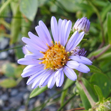 Load image into Gallery viewer, Close-up of Douglas Aster flower (Symphyotrichum subspicatum / Aster subspicatum). Another stunning Pacific Northwest native plant available at Sparrowhawk Native Plants Nursery in Portland, Oregon.
