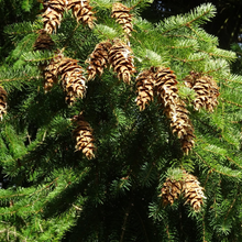 Load image into Gallery viewer, Close-up of Douglas Fir needles and cones (Pseudotsuga menziesii). Another stunning Pacific Northwest native tree available at Sparrowhawk Native Plants Nursery in Portland, Oregon.