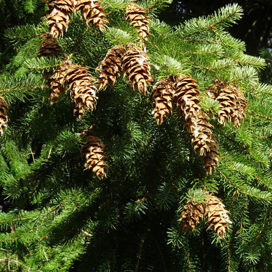 Close-up of Douglas Fir needles and cones (Pseudotsuga menziesii). Another stunning Pacific Northwest native tree available at Sparrowhawk Native Plants Nursery in Portland, Oregon.