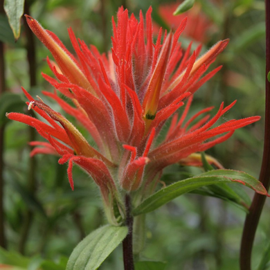 Close-up of Giant Red Paintbrush flower (Castilleja miniata). Another stunning Pacific Northwest native plant available at Sparrowhawk Native Plants Nursery in Portland, Oregon.