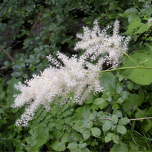 Load image into Gallery viewer, Close-up of white Goatsbeard flower (Aruncus dioicus var. acuminatus). Another stunning Pacific Northwest native plant available at Sparrowhawk Native Plants Nursery in Portland, Oregon.