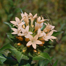 Load image into Gallery viewer, Close-up of Grand Collomia flowers (Collomia grandiflora). Another stunning Pacific Northwest native plant available at Sparrowhawk Native Plants Nursery in Portland, Oregon.
