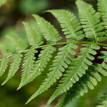 Load image into Gallery viewer, Close-up of Lady Fern (Athyrium filix-femina) frond. Another stunning Pacific Northwest native fern available at Sparrowhawk Native Plants Nursery in Portland, Oregon.