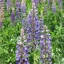 Load image into Gallery viewer, Several purple Large-leaved Lupine flowers (Lupinus polyphyllus). Another stunning Pacific Northwest native plant available at Sparrowhawk Native Plants Nursery in Portland, Oregon.