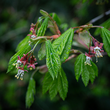 Load image into Gallery viewer, Young leaves and flowers of Vine Maple (Acer circinatum). Another stunning Pacific Northwest native tree available at Sparrowhawk Native Plants Nursery in Portland, Oregon.