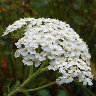 Close-up of Western Yarrow (Achillea millefolium). Another stunning Pacific Northwest native plant available at Sparrowhawk Native Plants Nursery in Portland, Oregon.