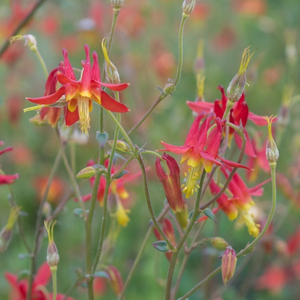 Close-up of Red Columbine flowers (Aquilegia formosa). One of 100+ species of Pacific Northwest native plants available at Sparrowhawk Native Plants, Native Plant Nursery in Portland, Oregon.