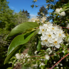 Load image into Gallery viewer, Close-up of the white flower and leaf of Prunus emarginata, Bitter Cherry tree. Another stunning Northwest Native Plant available at Sparrowhawk Native Plants Nursery in Portland, Oregon
