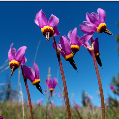 Dodecatheon hendersonii, Broad-Leaved Shooting Star flowers, Henderson's Shooting Star flowers. Another stunning Northwest Native Plant available at Sparrowhawk Native Plants Nursery in Portland, Oregon.