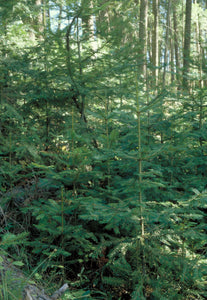 Abies grandis, Grand Fir, Young Fir Trees, Pacific Northwest Native Plants, Oregon, Sparrowhawk Native Plants