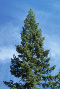 Abies grandis, Grand Fir, Pacific Northwest Native Plants, Oregon, Sparrowhawk Native Plants
