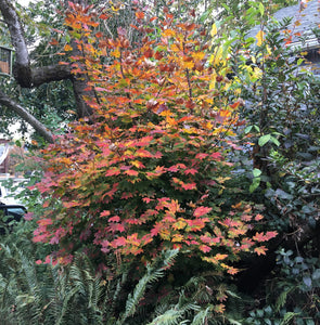 Vine Maple tree with gorgeous autumn color (Acer circinatum). Another stunning Pacific Northwest native tree available at Sparrowhawk Native Plants Nursery in Portland, Oregon.