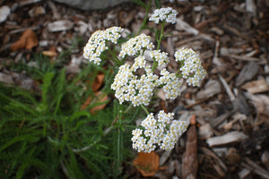 Achillea millefolium, Yarrow, Pacific Northwest Native Plants, Oregon Native Plant, Sparrowhawk Native Plants, Portland