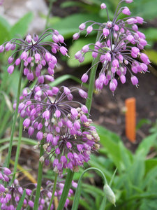 Close-up of Nodding Onion flower (Allium cernuum). Pacific Northwest native plant available at Sparrowhawk Native Plants Nursery in Portland, Oregon.