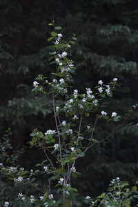 Amelanchier alnifolia, western serviceberry, branches in a forest setting