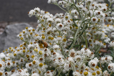 Anaphalis margaritacea, Pearly-Everlasting, Pacific Northwest Native Plants, Oregon Native Plant, Sparrowhawk Native Plants, Portland
