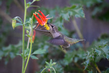 Load image into Gallery viewer, Hummingbird drinks from Red Columbine flower (Aquilegia formosa). One of 100+ species of Pacific Northwest native plants available at Sparrowhawk Native Plants, Native Plant Nursery in Portland, Oregon.