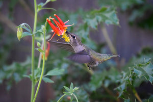 Hummingbird drinks from Red Columbine flower (Aquilegia formosa). One of 100+ species of Pacific Northwest native plants available at Sparrowhawk Native Plants, Native Plant Nursery in Portland, Oregon.