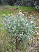 Load image into Gallery viewer, Young White Leaf Manzanita shrub (Arctostaphylos viscida). One of 100+ species of Pacific Northwest native plants available at Sparrowhawk Native Plants, Native Plant Nursery in Portland, Oregon.