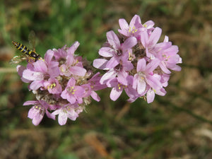 Thrift Seapink (Armeria maritima) - This compact evergreen plant is ideal for dry, well-drained or sandy areas of your yard - such as a rock garden. In mid-spring it produces small, globe-shaped pink to lavender (or sometimes white) flowers.