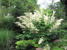 Load image into Gallery viewer, Goatsbeard (Aruncus dioicus var. acuminatus). Another stunning Pacific Northwest native plant available at Sparrowhawk Native Plants Nursery in Portland, Oregon.